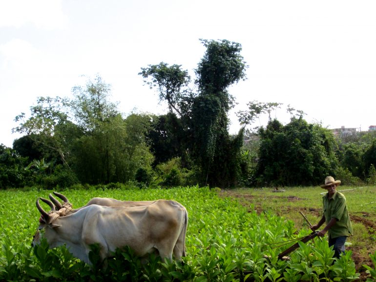 Cycling Cuba: Man with buffaloes in the field