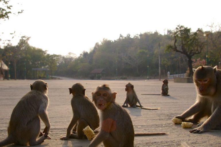 Mietwagen Thailand: Affen mit Maiskolben