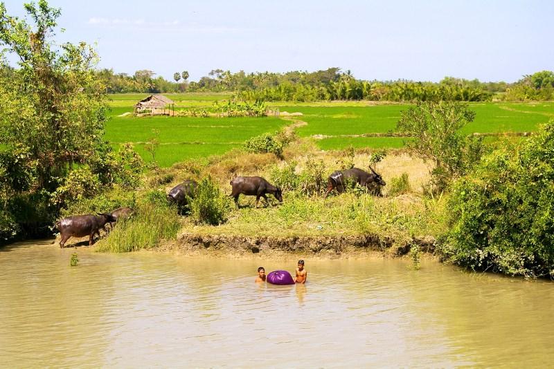 Water buffaloes along the Ayeyarwaddy
