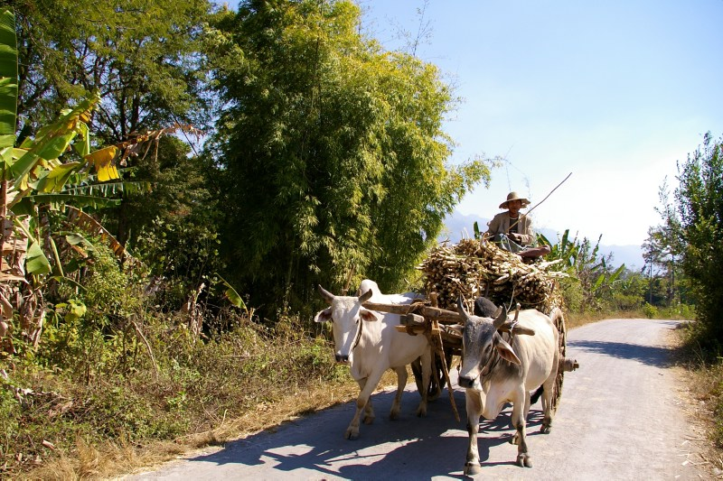 Man on a horsecart with buffaloes near the  Inle Lake