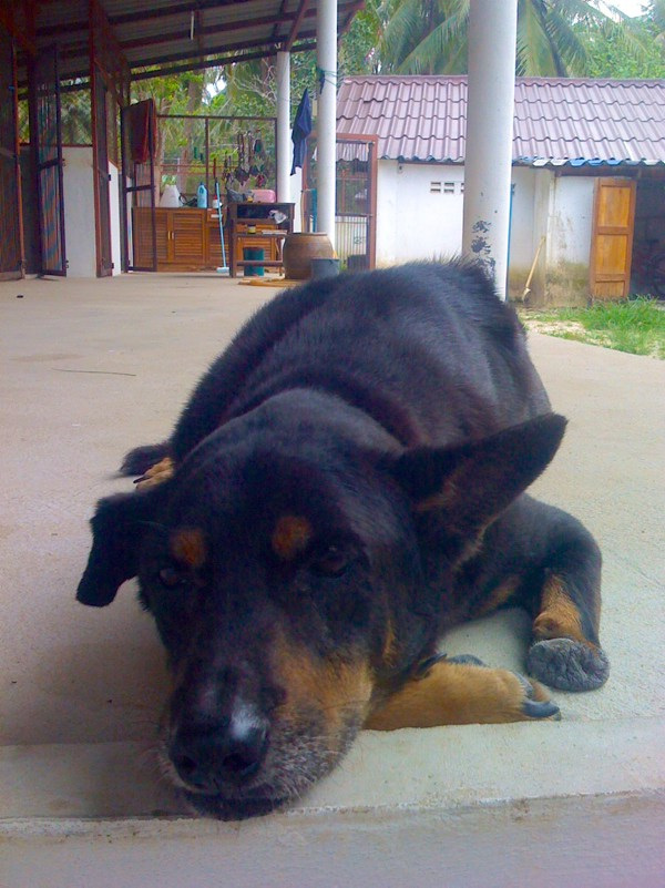Phangan Animal Care: Alter Hund