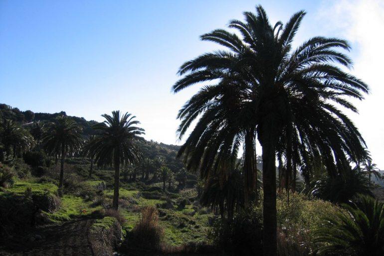 Palmen in Gomera