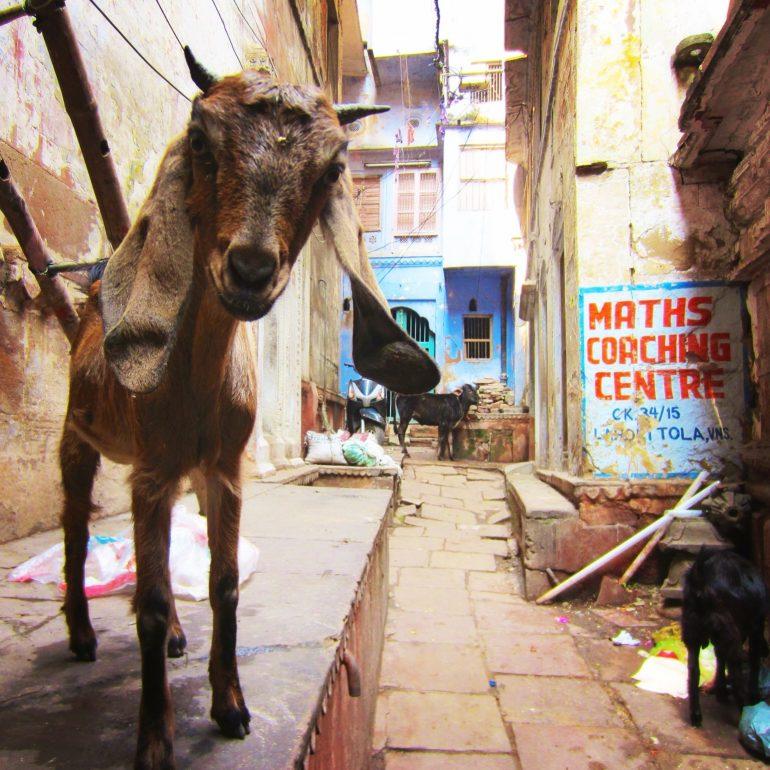 Ziege in einer Gasse von Varanasi