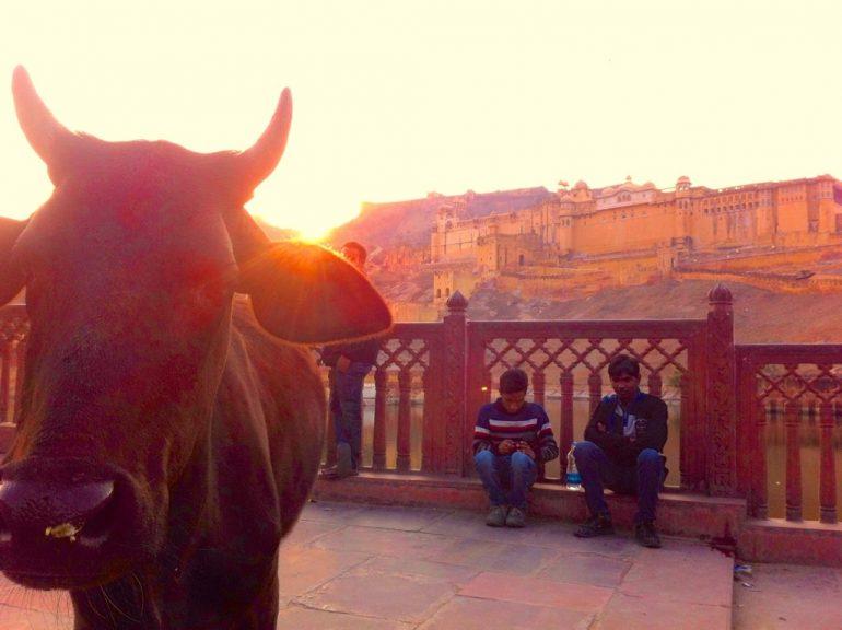 Enfield mieten in Indien: Kuh im Sonnenuntergang vor dem Amber Fort