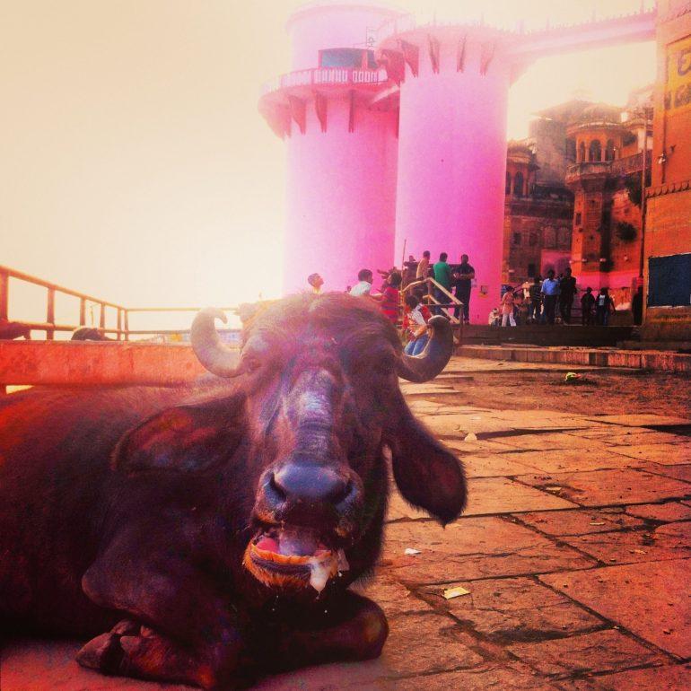 Kuh vor zwei Türmen in Varanasi
