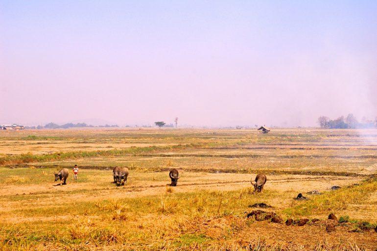 Wasserbüffel auf einem Feld in Myanmar