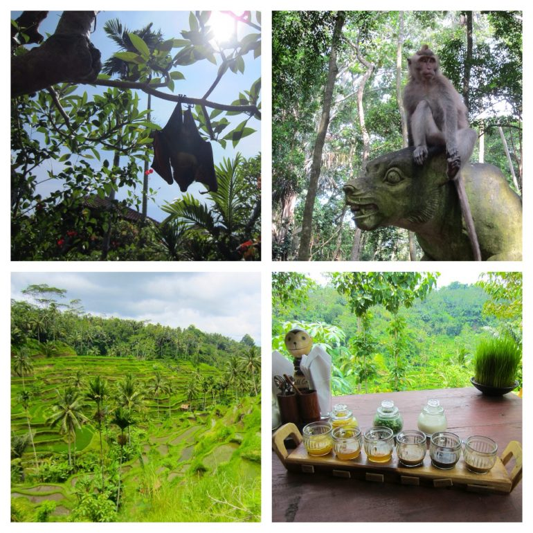 Charly, der Hotel-Flughund; Affe im Monkey Forest, Reisterrassen nahe Ubud, Teeverköstigung