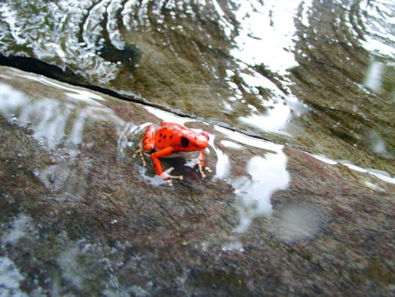 Roter Frosch auf nassem Untergrund
