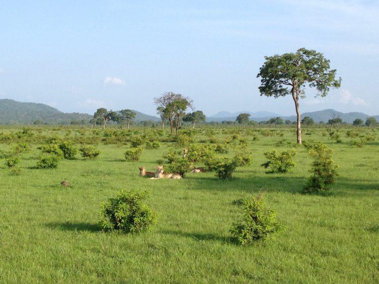 Löwen in der Savanne während einer Tansania Safari