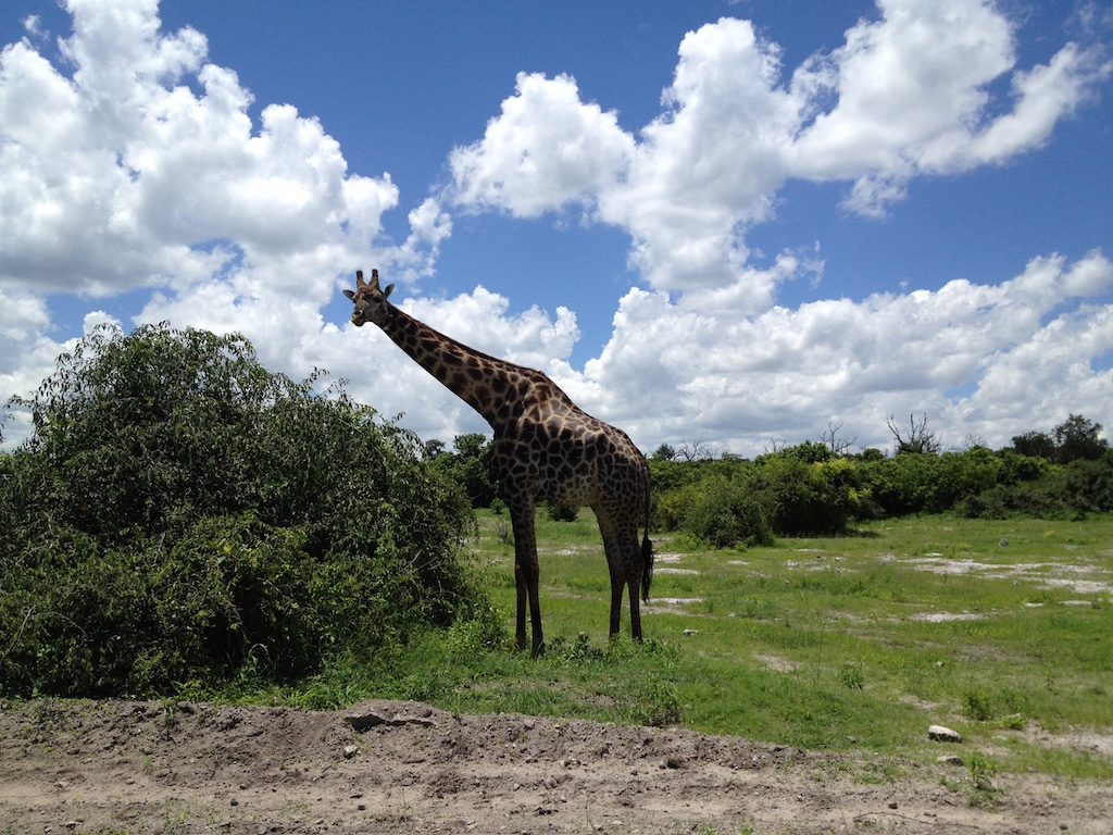 Giraffe im Chobe National Park