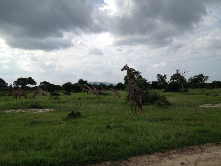 Giraffen im Mikumi National Park