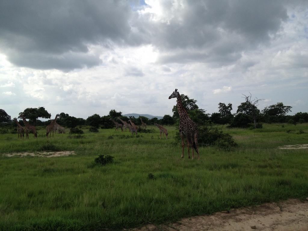 Noch viel mehr Giraffen im Mikumi National Park