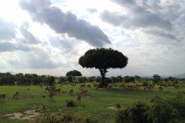 Impalas im Mikumi National Park