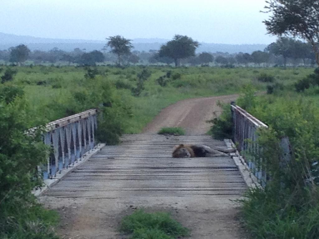 Löwe im Mikumi National Park