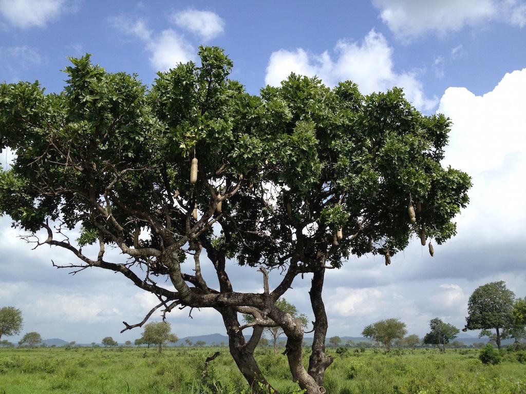 Leberwurstbaum im Mikumi National Park