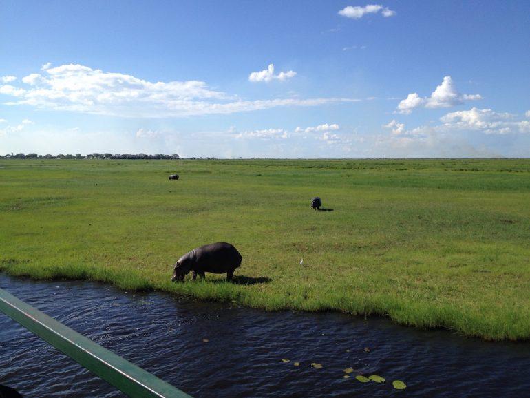 Nilpferde am Ufer des Chobe River