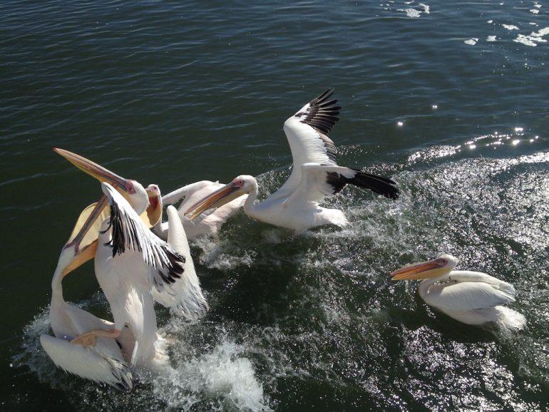 Pelikane in Walvis Bay
