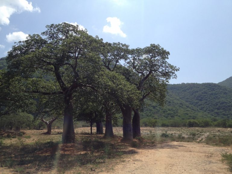 Baobab-Bäume in Tansania