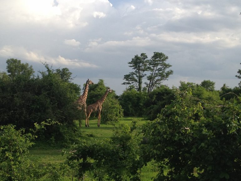 Giraffen Im South Luangwa National Park
