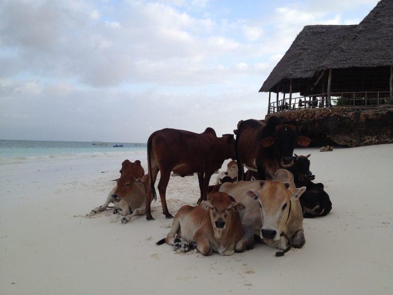 Kühe am Strand von Sansibar