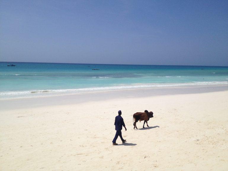 Mann mit Kuh am Strand von Sansibar während einer Afrika Rundreise