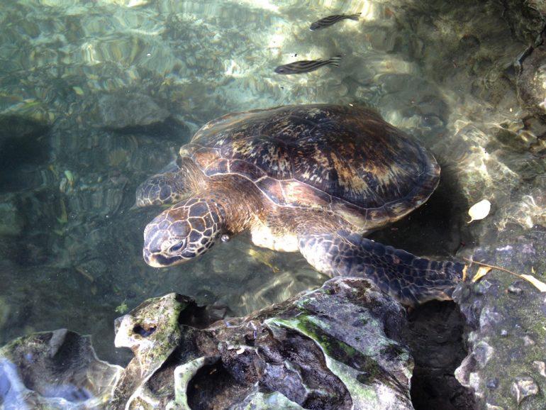 Meeresschildkröte und Fische in einer Lagune