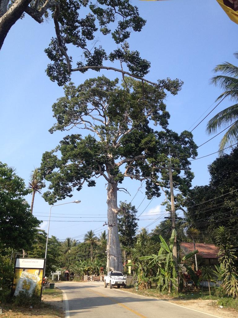 Ko Phangan Highlights: Größter Baum der Insel, Ko Phangan