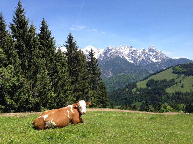 Kuh vor Bergkulisse in Tirol