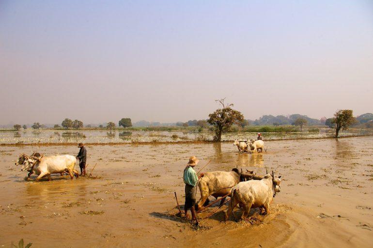 Schöne Fotos: Bauern mit Wasserbüffeln in Myanmar