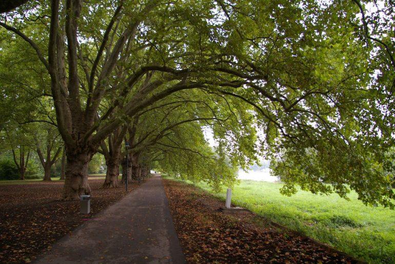 Allee mit Bäumen in Ludwigshafen