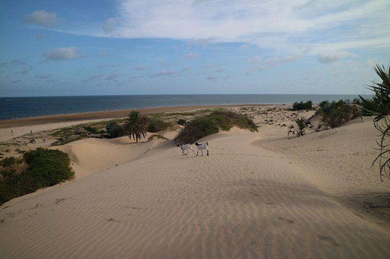 Kenia Strand: Dünen mit Zoegen am Mambrui Beach