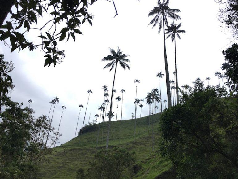 Kolumbien Reisetipps - die größten Palmen der Welt im Cocora Valley