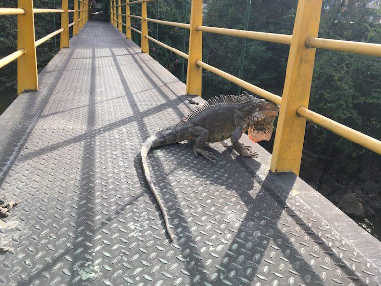 Kolumbien Reisetipps: Varan auf Brücke in San Gil