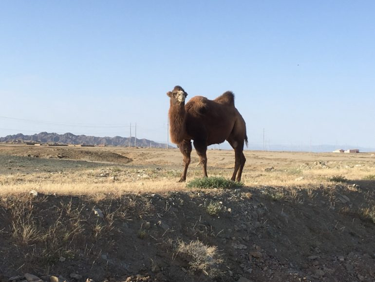 Innere Mongolei: Wildes Kamel am Straßenrand