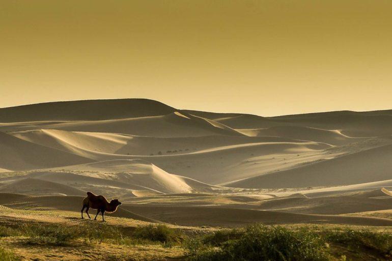 Dakar Rally in China: Kamel vor Dünen in der Wüste der Inneren Mongolei