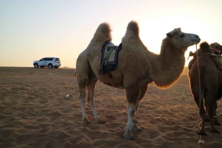 Kamel in der Wüste beim FB Life Festival