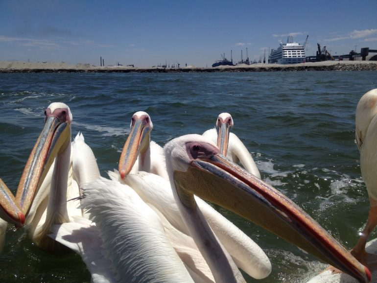 Adventures in Namibia: Pelikans at a tourist boat in Walvis Bay.