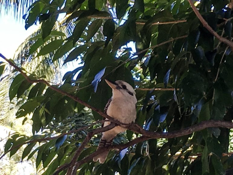 Great Barrier Reef: Kookaburra Vogel im Baum