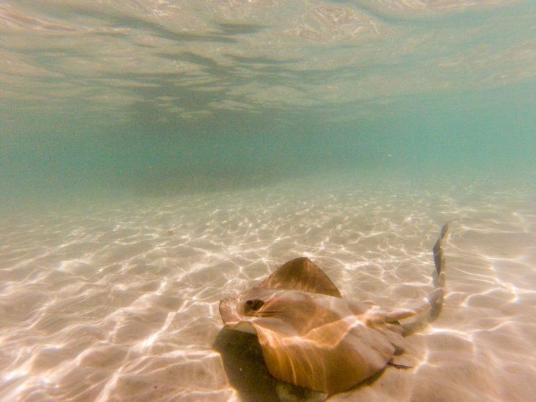 Whitsundays: Unterwasseraufnahme von Stachelrochen