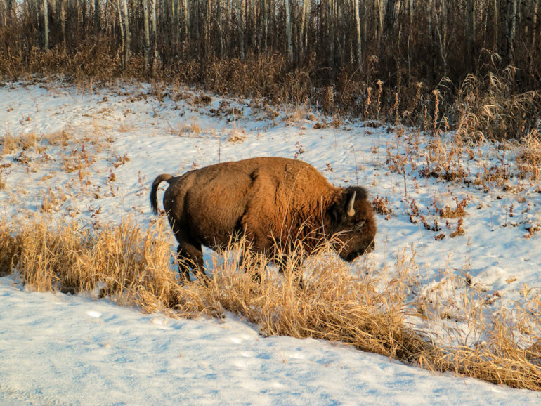 Alberta Highlights: Bison im Elk Island National Park