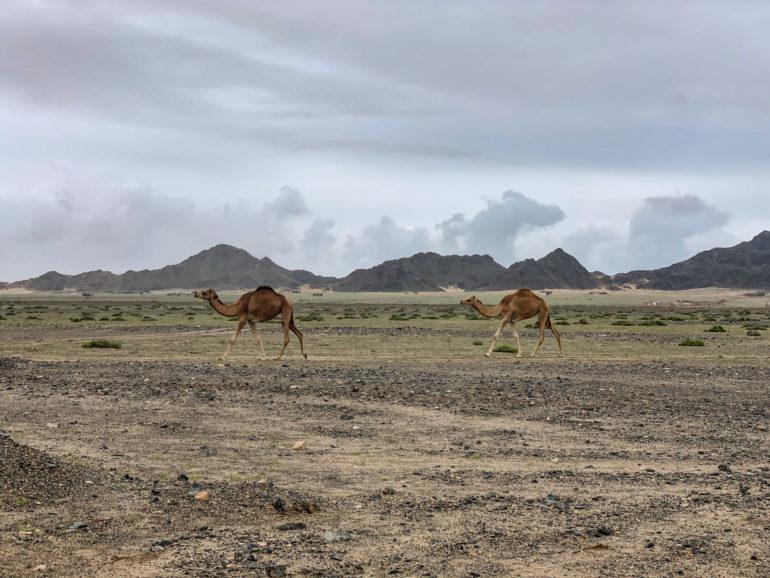 Kamele und Berge auf Masirah Island