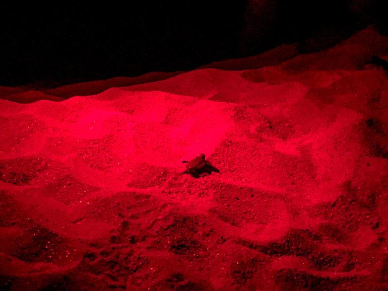 Baby Meeresschildkröte am Strand